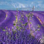 moustiers-sainte-marie-lavender